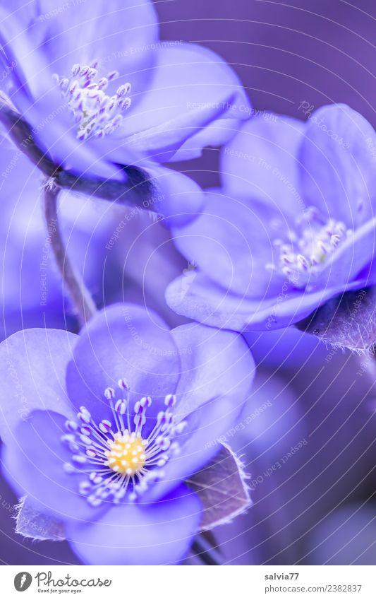 Leberblümchen harmonisch Sinnesorgane Erholung ruhig Duft Valentinstag Muttertag Natur Pflanze Frühling Blume Blüte Botanik Garten Blühend ästhetisch Design