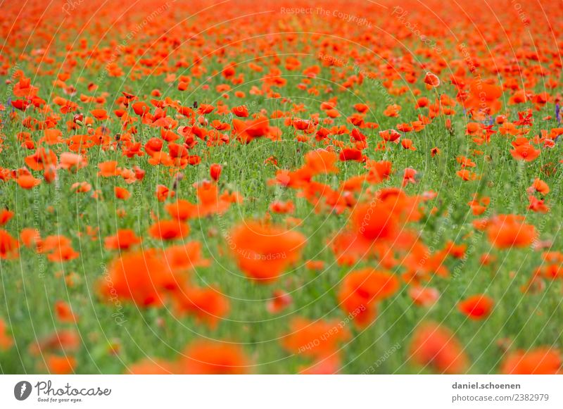 tausende Natur Pflanze Sommer Blume Blüte Mohnfeld grün rot Farbe Vergänglichkeit Farbfoto mehrfarbig Menschenleer