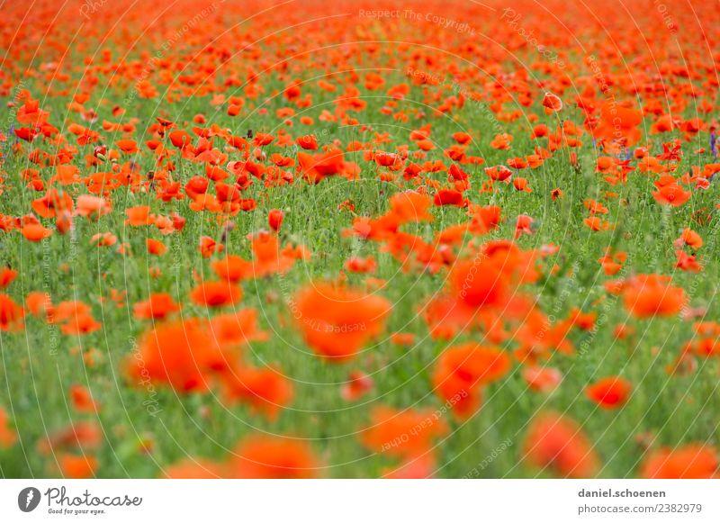 tausende Natur Sommer Pflanze Farbe grün Blume rot Blüte Vergänglichkeit Mohn Mohnfeld