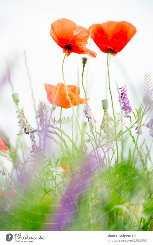 Mohn Natur Pflanze Sommer Blume Wiese Freundlichkeit frisch hell grün rot weiß Mohnblüte Farbfoto mehrfarbig Makroaufnahme Menschenleer Textfreiraum unten