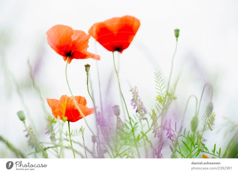 heller Sommer Natur Pflanze grün weiß Blume rot Freundlichkeit Mohn Mohnblüte