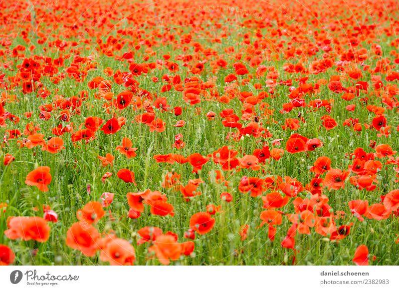 ganz viel rot Natur Pflanze Sommer Blume Wiese frisch grün Mohn Mohnfeld Blumenwiese mehrfarbig