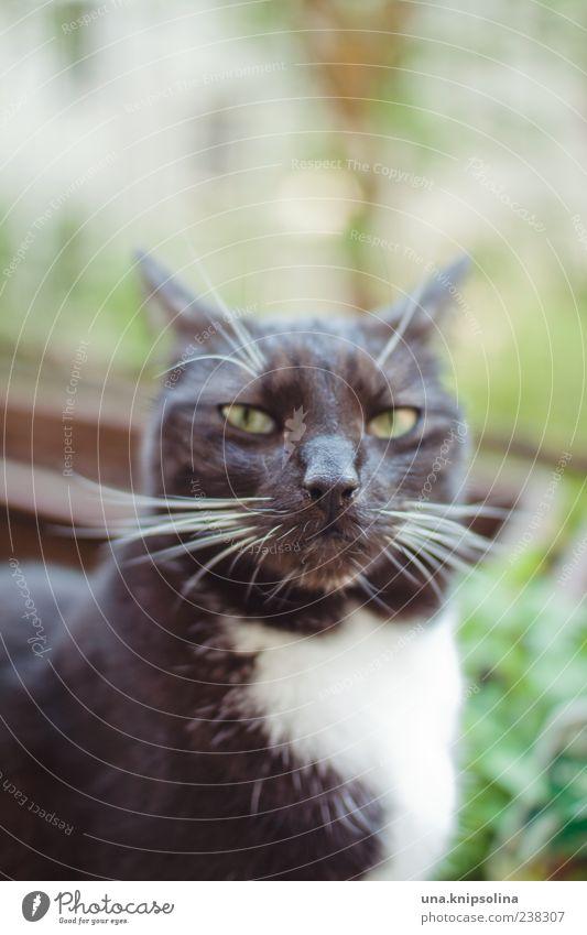 you talking to me? Tier Haustier Katze 1 beobachten Aggression frech kalt verrückt Wut schwarz Gefühle Schnurrhaar Sonnenlicht Textfreiraum oben Hauskatze
