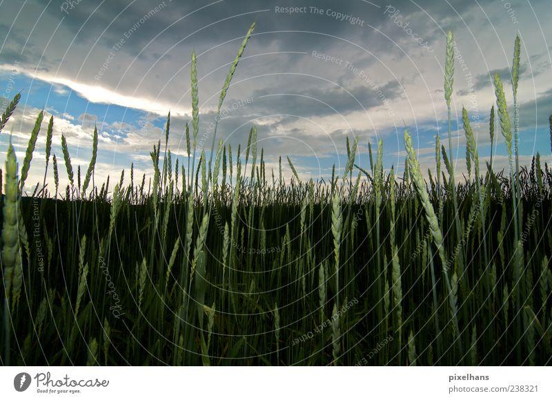 5 vor Regen Bioprodukte Sommer Umwelt Natur Landschaft Himmel Wolken Gewitterwolken Klimawandel Unwetter Pflanze Grünpflanze Kornfeld Feld blau braun grau grün