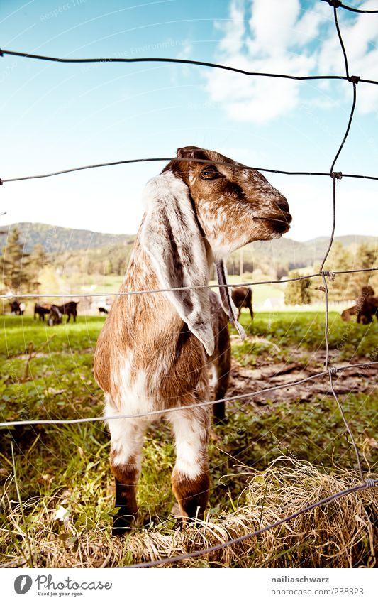 Schlappohren Tier Nutztier Tiergesicht Fell Zoo Streichelzoo 1 Tierjunges Metall Stahl Blick stehen authentisch Fröhlichkeit frisch kuschlig nah natürlich