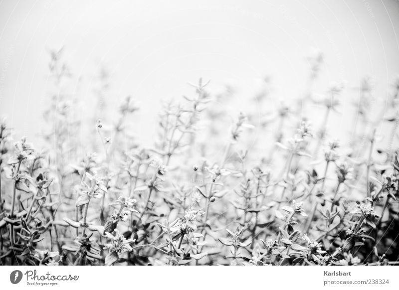 thym. Lebensmittel Kräuter & Gewürze Rosmarin Design Garten Umwelt Natur Pflanze Sommer Nebel Sträucher Nutzpflanze Thymian Wiese grau Wachstum