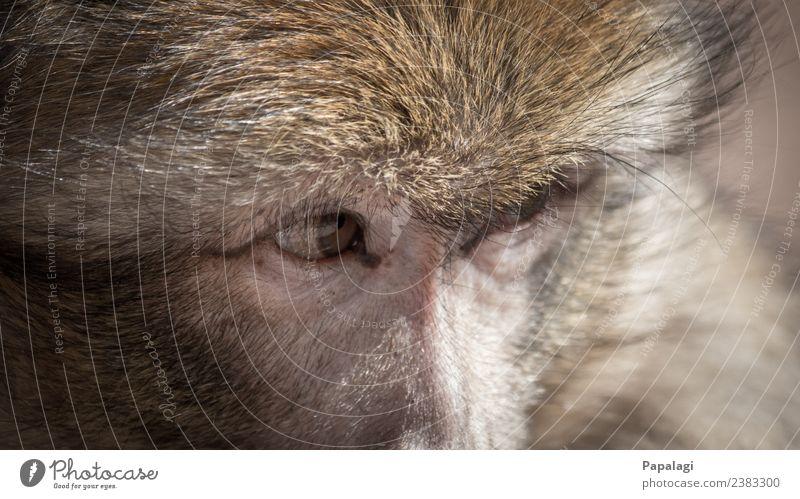 Watching you... Tier Wildtier Tiergesicht Fell Affen 1 beobachten Blick ästhetisch natürlich Willensstärke Mut Vertrauen loyal Freundschaft Tierliebe schön