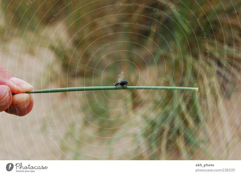Stabtänzer grün Pflanze Tier Gras Sand klein braun Finger Käfer krabbeln Dünengras Mensch Hand haltend