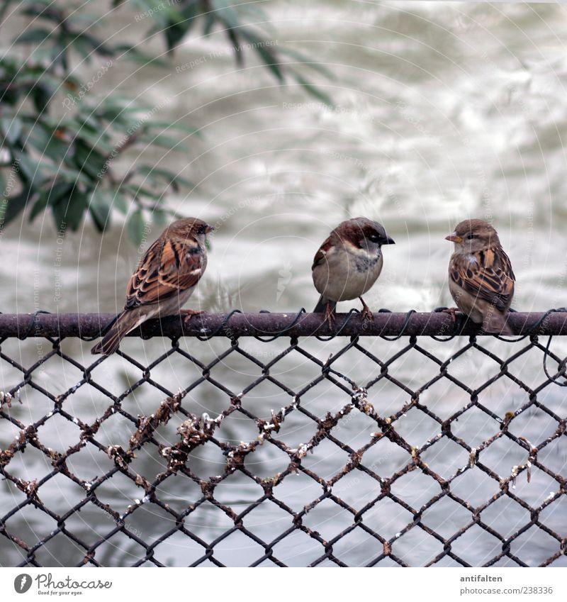 Zaungespräch Wasser grün Blatt Tier grau klein Vogel braun sitzen Tiergruppe Flügel Tiergesicht Zaun Spatz Perspektive nebeneinander