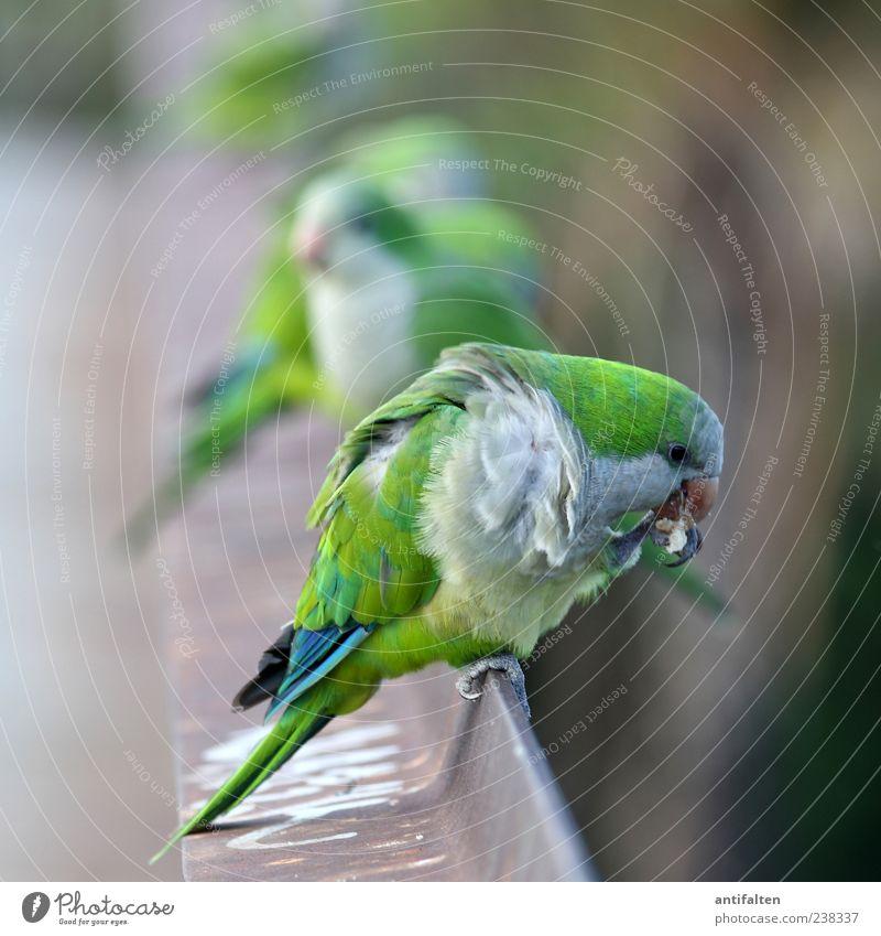 Wie die Hühner auf der Stange grün Tier Auge Vogel Wildtier frei Tiergruppe Flügel Feder Reinigen Geländer Tiergesicht Zoo Stahl Schnabel Krallen
