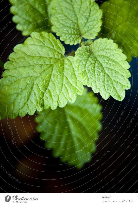 Zitronenmelisse Natur grün Pflanze Blatt Gesundheit frisch Wachstum Kräuter & Gewürze Geruch Teepflanze Botanik aromatisch Heilpflanzen organisch Kräutergarten
