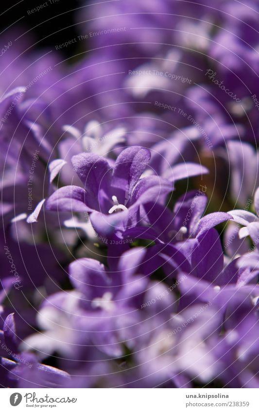 violett Natur Pflanze Blume Umwelt Blüte natürlich Blühend Blütenblatt