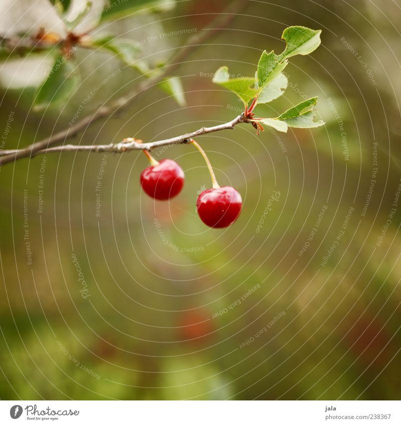 kirschen Natur grün Pflanze rot Blatt Ernährung Lebensmittel Frucht glänzend lecker reif Bioprodukte Kirsche Vegetarische Ernährung Licht