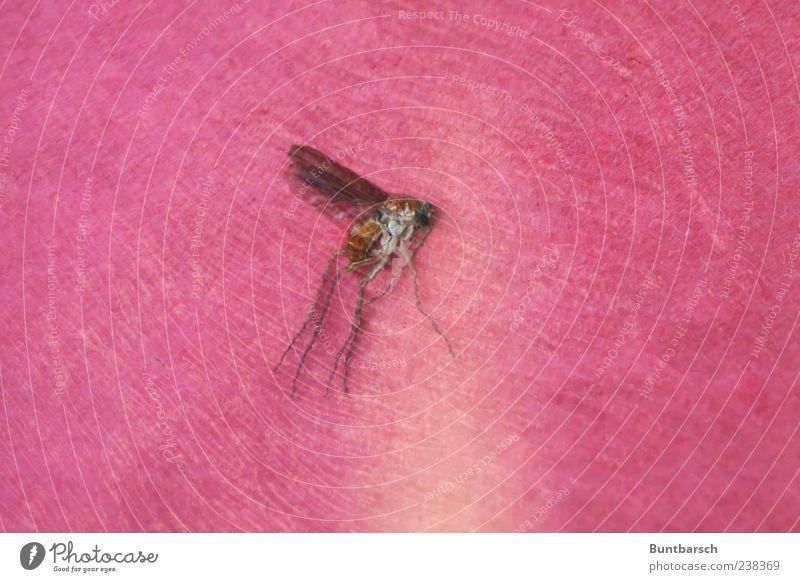 Mücke Natur rot Tier Insekt Stechmücke Zweiflügler Totes Tier