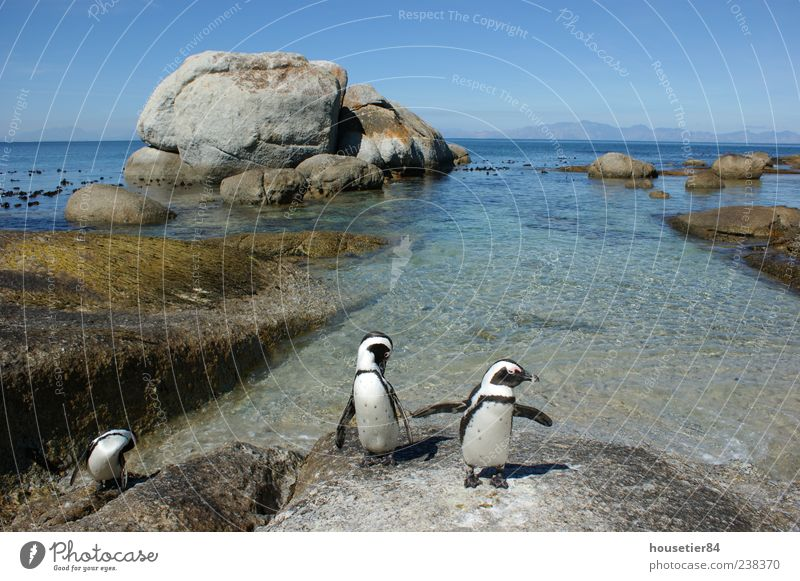 Pinguinstrand in Südafrika (Simonstown) Ferien & Urlaub & Reisen Freiheit Expedition Sommer Strand Meer Wellen Umwelt Natur Landschaft Tier Wasser Himmel