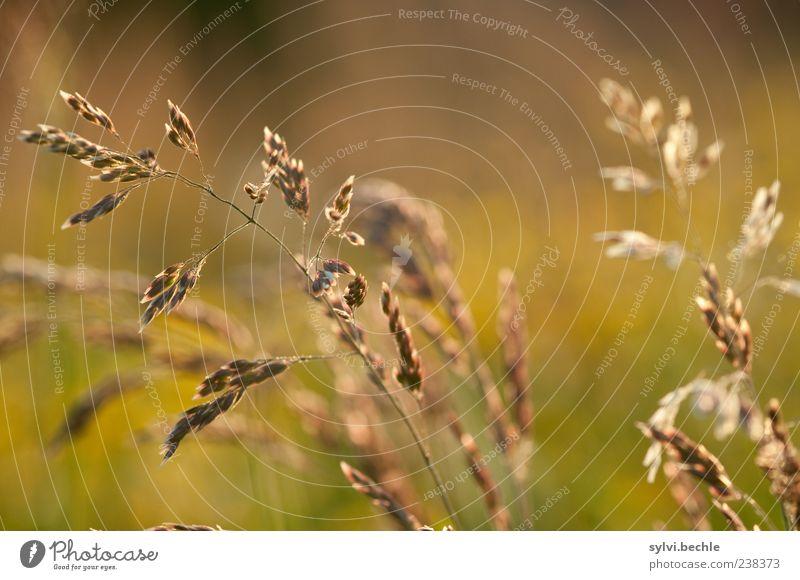 Happy 200, liebe Bella! Umwelt Natur Pflanze Sommer Gras leuchten Wachstum braun gelb gold zart Farbfoto mehrfarbig Außenaufnahme Nahaufnahme Detailaufnahme Tag