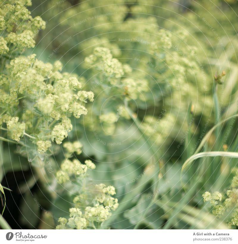 verwünschen Natur grün Pflanze Blume Frühling Gras Stil elegant Wachstum Dekoration & Verzierung Blühend Blattgrün