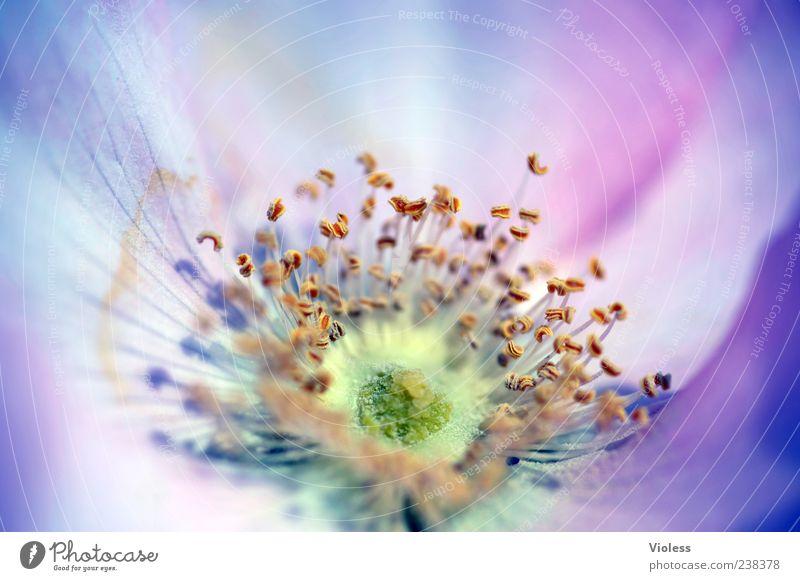 Bella Bluma Natur Pflanze Blume rosa Blühend Blüte Stempel Frühlingsgefühle Makroaufnahme