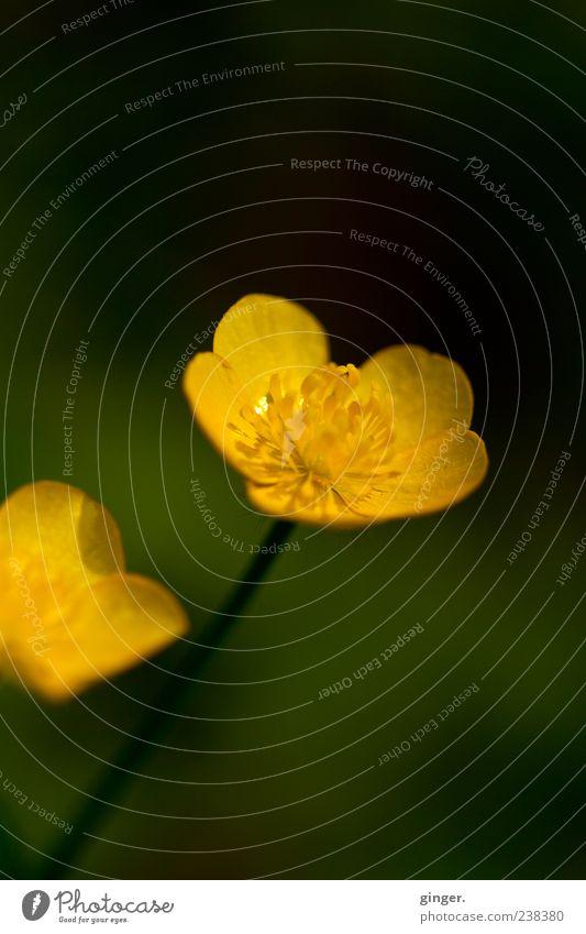 Wir zwei sind da! Natur grün Sommer Pflanze gelb Umwelt Frühling Blüte Wachstum Schönes Wetter Blühend Stempel Blütenblatt zierlich Wildpflanze Makroaufnahme