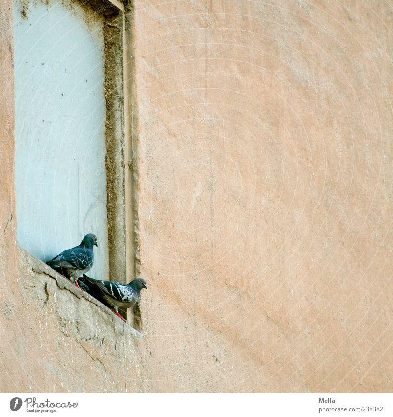 Zwei Gebäude Mauer Wand Tier Vogel Taube 2 sitzen alt Zusammensein trist Fenstersims Nische Tierpaar paarweise Farbfoto Außenaufnahme Menschenleer