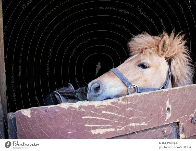 Gestatten, Fritz mein Name! Tier braun niedlich Pferd Fell Tiergesicht Haustier gefangen Ponys Nutztier Stall Mähne 2 Halfter Pferdekopf Pferdestall