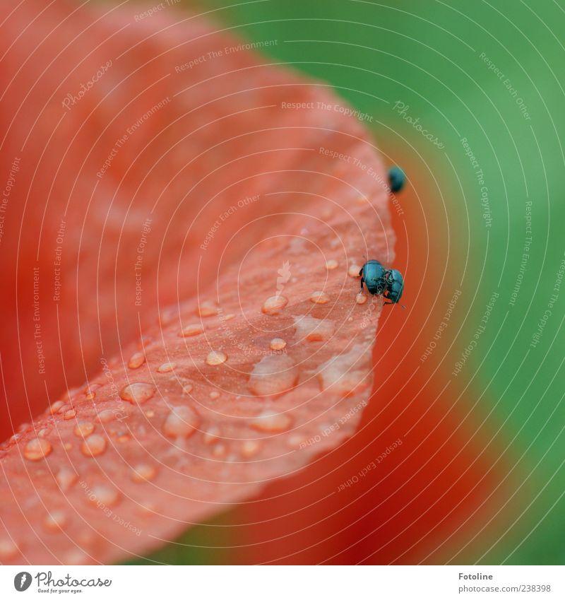 Platz da, laß mich vorbei! Umwelt Natur Pflanze Tier Urelemente Wasser Wassertropfen Sommer Regen Blume Blüte Wildpflanze Käfer hell nass natürlich grün rot