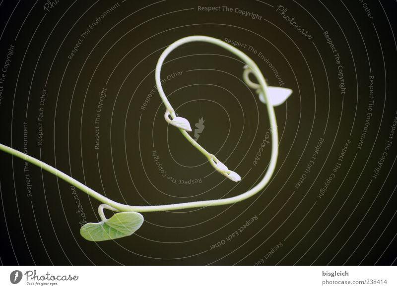 Luftikus grün Pflanze Blatt klein Wachstum filigran Trieb Ranke gekrümmt Licht Vor dunklem Hintergrund