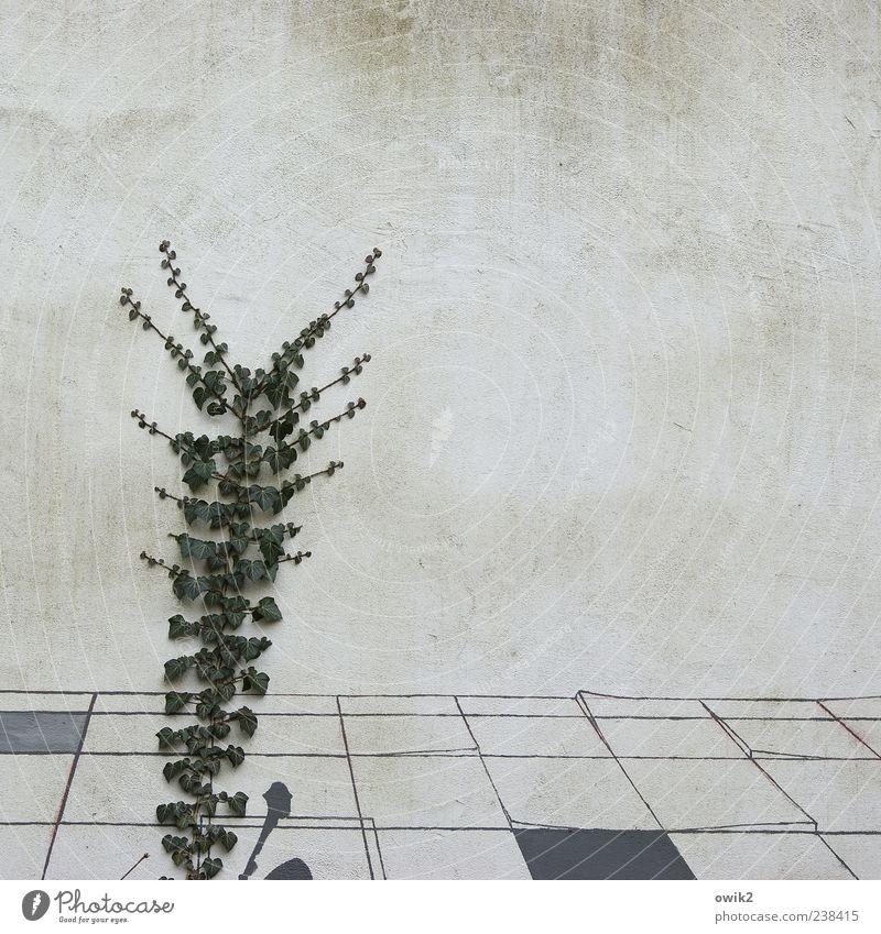 Wachstumspakt Pflanze Blatt Grünpflanze Wildpflanze Ranke Efeu Mauer Wand Fassade Putzfassade eckig einfach hell natürlich grau Farbfoto Außenaufnahme