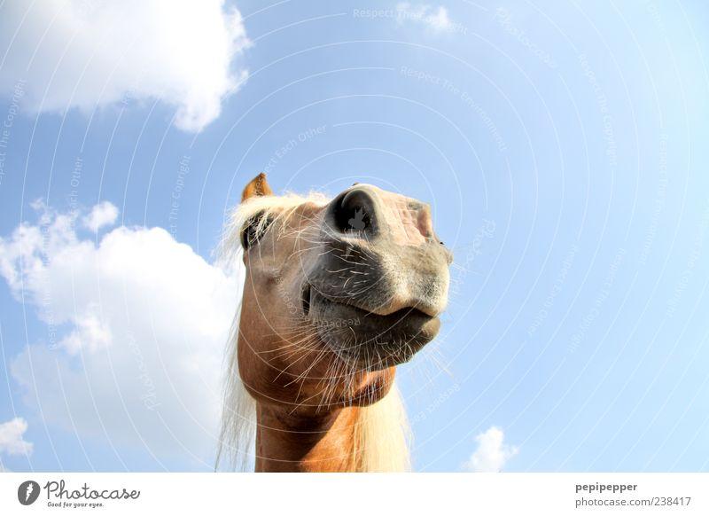 Crazy Horse Himmel blau Sommer Tier lustig braun außergewöhnlich Pferd beobachten Fell Tiergesicht Nutztier Nüstern Blick Pferdekopf Pferdeauge