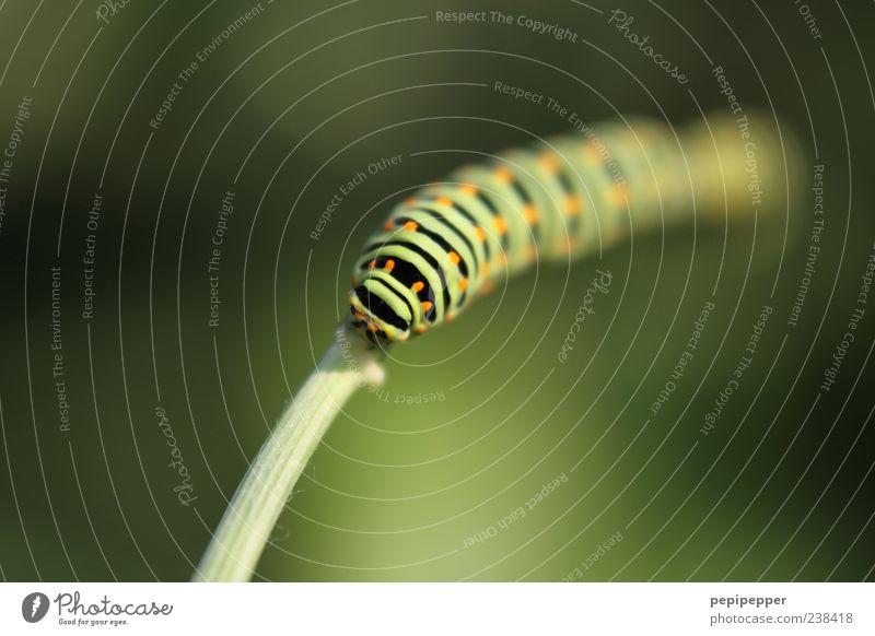 aus dem nichts Natur grün Pflanze Sommer Tier Gras Linie orange Streifen Tiergesicht dick Halm krabbeln Nutztier Raupe hellgrün