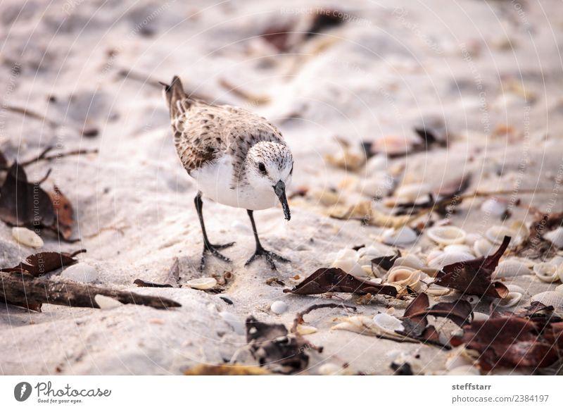 Westliche Strandläufer Ufervögel Calidris mauri Meer Natur Tier Sand Küste Wildtier Vogel 1 wild braun Westlicher Strandläufer Küstenvogel Watvogel