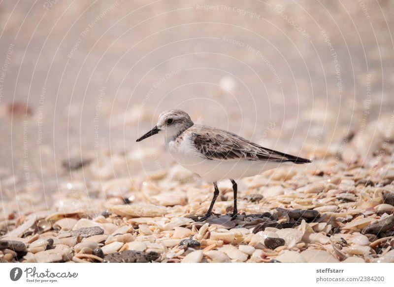 Westliche Strandläufer Ufervögel Calidris mauri Meer Natur Tier Sand Küste Wildtier Vogel Tiergesicht Flügel wild braun Westlicher Strandläufer Küstenvogel