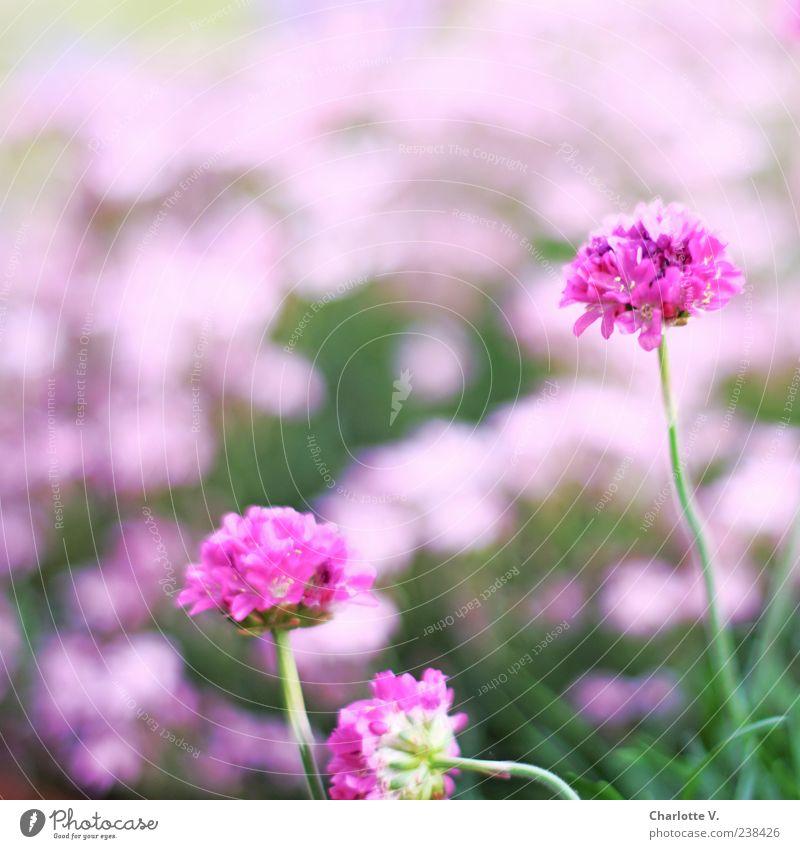 Rosa Pflanze Frühling Blume Blüte Grasnelke ästhetisch schön natürlich grün rosa Frühlingsgefühle einfach elegant Farbe Natur ruhig Farbfoto Außenaufnahme Tag