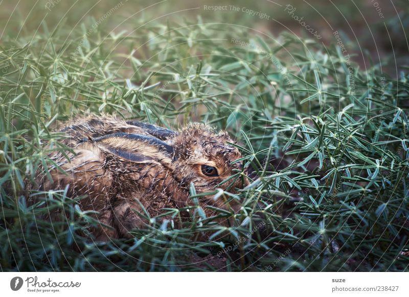 Häschen in der Grube Natur grün Tier Umwelt Tierjunges Wiese klein braun sitzen Wildtier authentisch nass niedlich Ostern verstecken Hase & Kaninchen