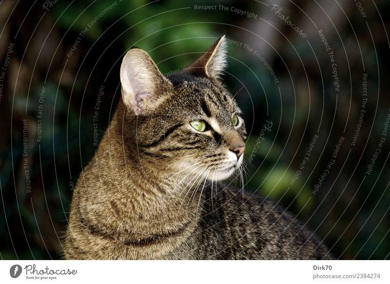 Kurti ... Natur Frühling Sträucher Efeu Garten Tier Haustier Katze Hauskatze Tigerkatze Kater 1 beobachten Blick Neugier klug Wachsamkeit kalt Kontrolle