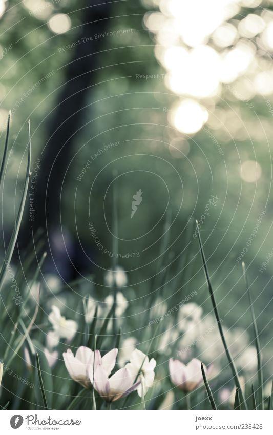 Fühler Natur Pflanze Frühling Blume Blüte Grünpflanze Wiese schön grau grün weiß ruhig Umwelt Farbfoto Gedeckte Farben Außenaufnahme Menschenleer Tag Licht