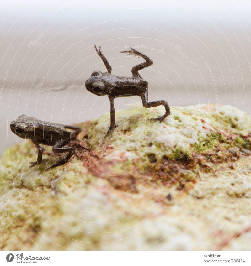 Nur fliegen ist schöner Tier Frosch 2 Tierjunges klein Nahaufnahme Makroaufnahme Menschenleer Textfreiraum unten Tierporträt Ganzkörperaufnahme braun Unschärfe