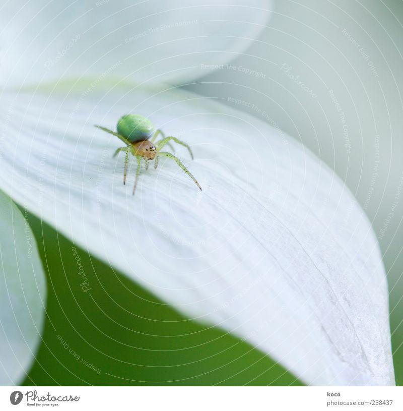 Pfui Spinne! Natur weiß grün Pflanze Tier Umwelt gelb klein Blüte hell außergewöhnlich ästhetisch niedlich rund einzigartig