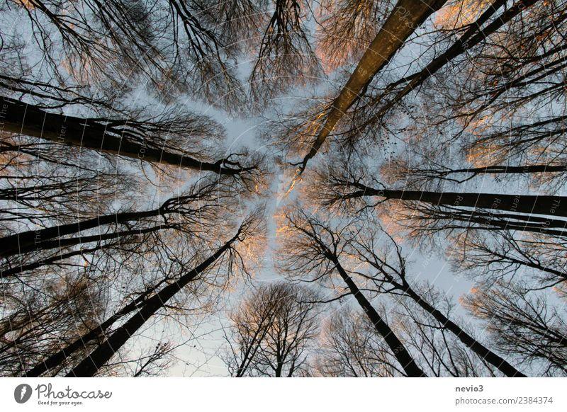 Gen Himmel aufragende Bäume im Laubwald Umwelt Natur Landschaft Pflanze Frühling Baum Wald braun Frühlingsgefühle Mischwald Laubbaum aufstrebend hoch Höhe Holz