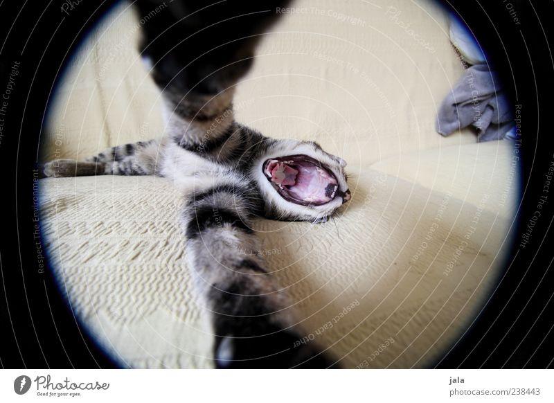 1000 | big hug Tier Haustier Katze Tiergesicht Pfote Umarmen Farbfoto Innenaufnahme Menschenleer Tag Weitwinkel Fischauge gähnen rund liegen außergewöhnlich