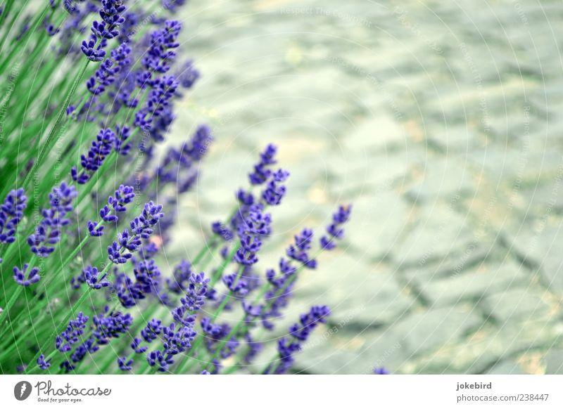 Düfte pflastern deinen Weg Gesundheit Erholung ruhig Duft Sommerurlaub Garten Pflanze Schönes Wetter Blüte Stengel Lavendel Sträucher Park Stein grau grün