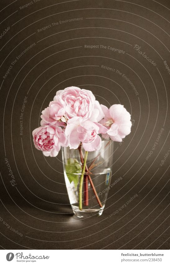 Rosenrot Frühling Sommer Pflanze Blume Blüte Grünpflanze Blumenstrauß Kitsch Krimskrams Stimmung Glück Optimismus ruhig Weisheit Reinheit Sehnsucht ästhetisch
