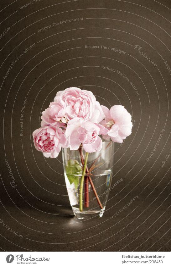 Rosenrot Pflanze Sommer Blume ruhig Gefühle Frühling Glück Blüte Stimmung rosa elegant ästhetisch Rose Kitsch Sehnsucht Frieden