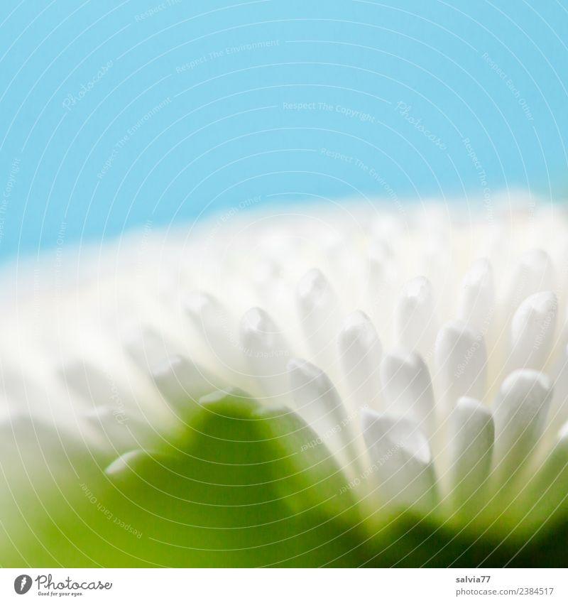 blau-weiß-grün Natur Pflanze Frühling Sommer Blume Blüte Gänseblümchen Design Duft einzigartig Farbe Kunst Strukturen & Formen Blütenblatt hell-blau