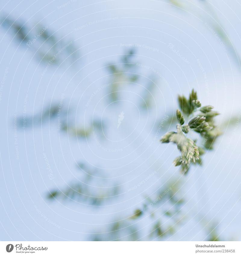 ...kommt ein Gras geflüstert! Natur blau grün Pflanze Sommer hell Wachstum zart Blühend Leichtigkeit sanft zierlich hell-blau Wildpflanze Makroaufnahme