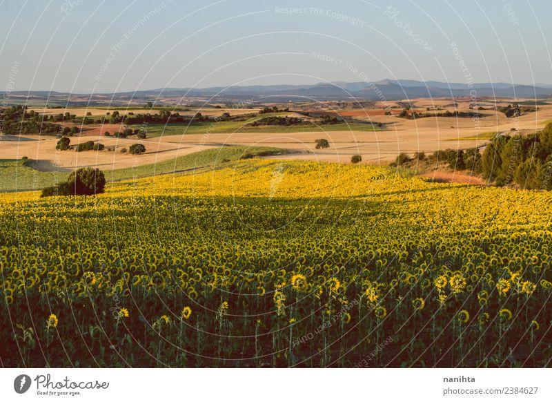 Ländliche Szene eines Sonnenblumenfeldes Landwirtschaft Forstwirtschaft Umwelt Natur Landschaft Pflanze Erde Himmel Wolkenloser Himmel Sommer Schönes Wetter