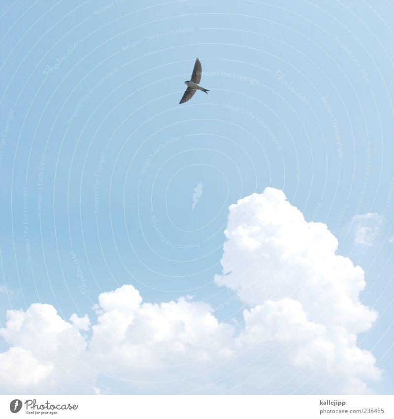 sommer Freizeit & Hobby Himmel Wolken Sommer Tier Wildtier Vogel Flügel 1 fliegen Schwalben Kumulus Wetter Farbfoto Außenaufnahme Licht Schatten Kontrast