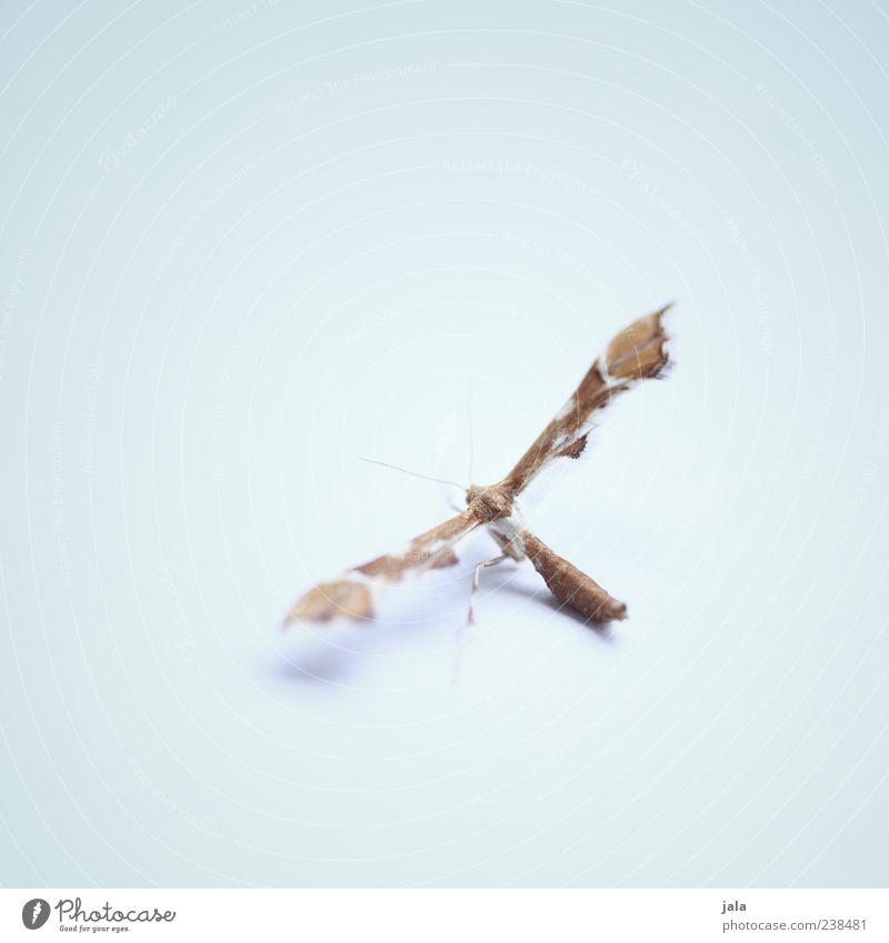 falter Tier Wildtier Flügel Schmetterling 1 braun fein klein hell-blau beige Insekt Farbfoto Innenaufnahme Menschenleer Textfreiraum links Textfreiraum rechts