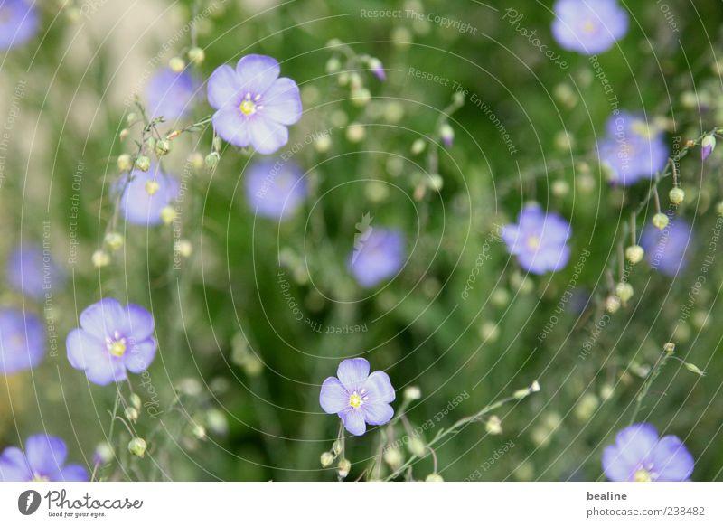 Romantische Blaublüter Natur Pflanze blau grün schön Blume ruhig Leben Blüte Frühling Wiese natürlich klein Garten Fröhlichkeit einfach