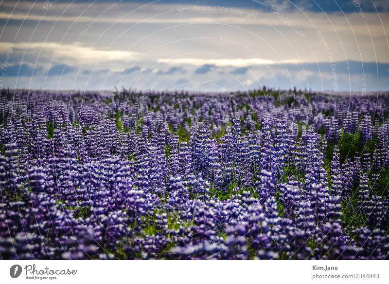 sea of flowers harmonisch ruhig Duft Ferne Camping Insel Umwelt Natur Landschaft Pflanze Luft Himmel Wolken Sonne Sommer Schönes Wetter Blume Blatt Blüte